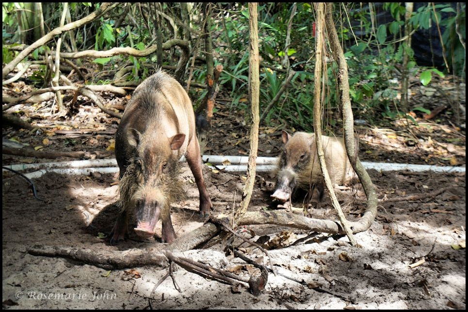 Two of the three wild boars that came out of the rainforest...