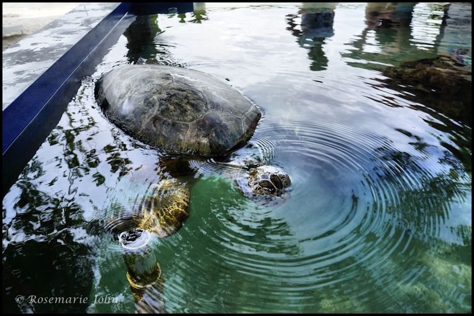 The sea turtle recuperating in a tank outside the Marine Centre