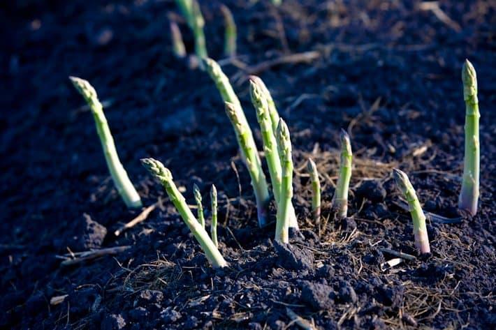 asparagus-71